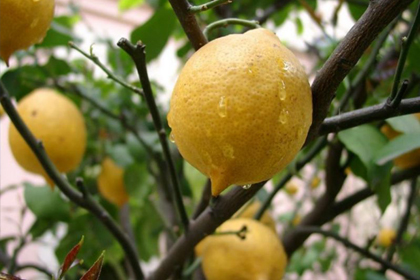 Gribe karşı limon ve