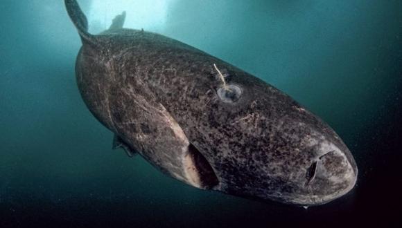 400 Yıldır Yaşayan Köpek Balığı Tespit