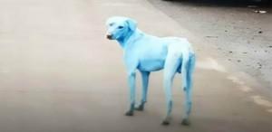 Köpeklerin rengi mavileşiyor!